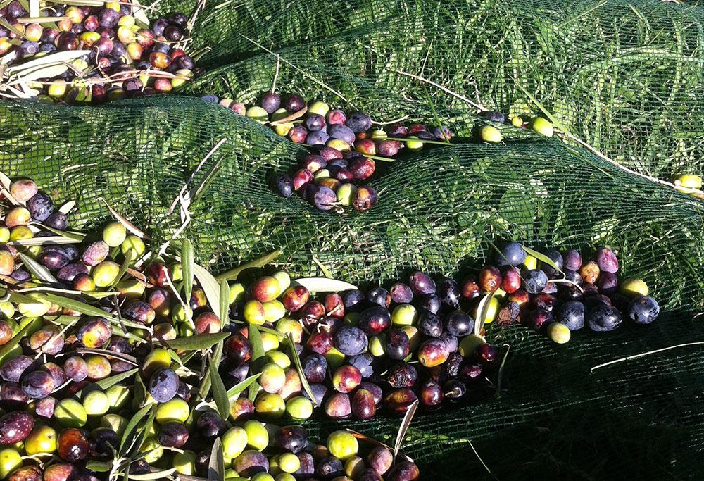 Fra-oliven-til-olivenolje