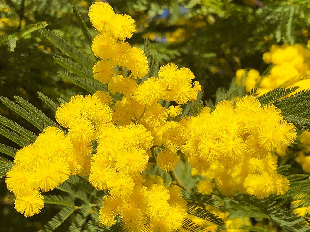 Fete du mimosa - Tanneron